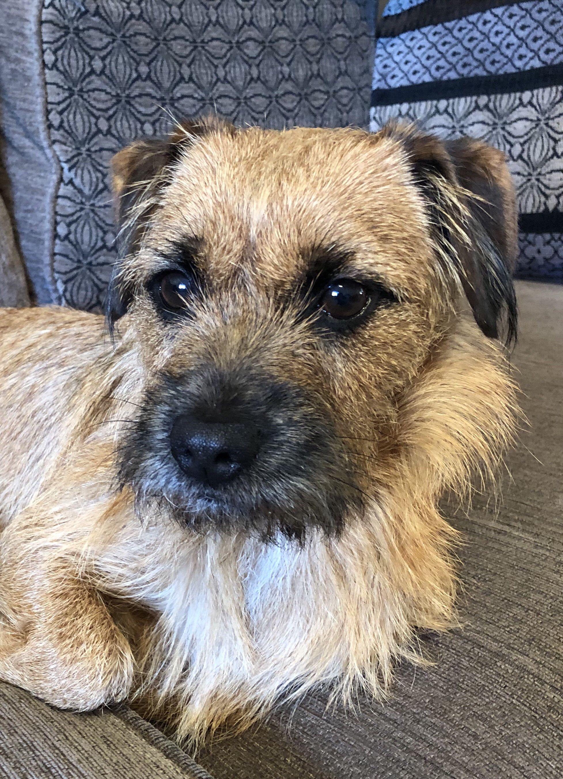 Pin By Beverley Brightley On Border Terriers Border Terrier