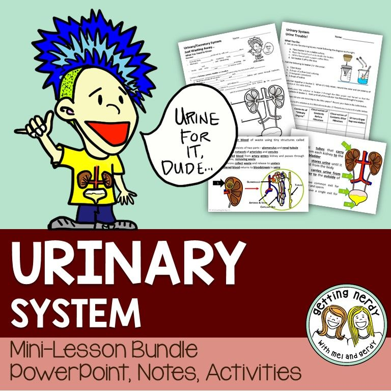 Urinary System | Labs, Human body and Powerpoint lesson