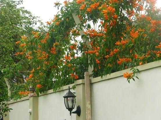 Cây hoa leo  Đăng tiêu - Tecomaria capensis.  Thiết kế thi công vườn Hoa 4 mùa, liên hệ: 01633002001 / 01679845026