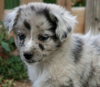 German Shepherd Australian Shepherd Mix Puppies Miniature