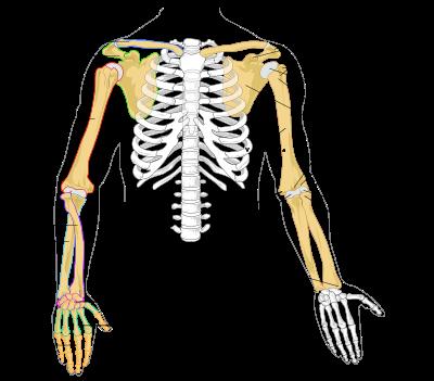 cintura escapular huesos | cuerpo humano | Pinterest | Cintura ...