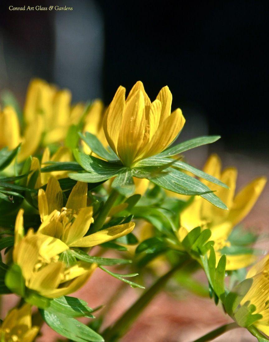 Conrad Art Glass Gardens 2012 In Bloom Post 1 Pflanzen Pflanzzeit Blumenzwiebeln