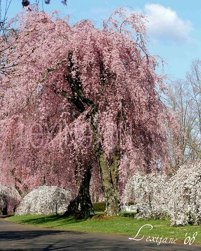 My Dream Is To One Day Have One Of These In My Yard Again Nostalgic About Weeping Cherry Trees Weeping Cherry Tree Beautiful Tree Dream Garden