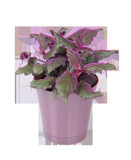 Flowering House Plants Purple purple passion plant | garden | pinterest | plants, passion and purple