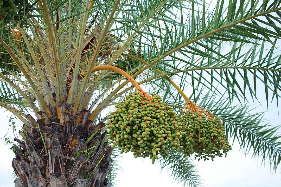 تعتبر النخله مصدر رئيسي للتغذيه الصحيه للإنسان منذالاف السنين وهي لازلت تعطينا من خيراتها من الرطب و التمور لتمدنا باحتياجاتنا اليوميه من Palm Trees Palm Tree