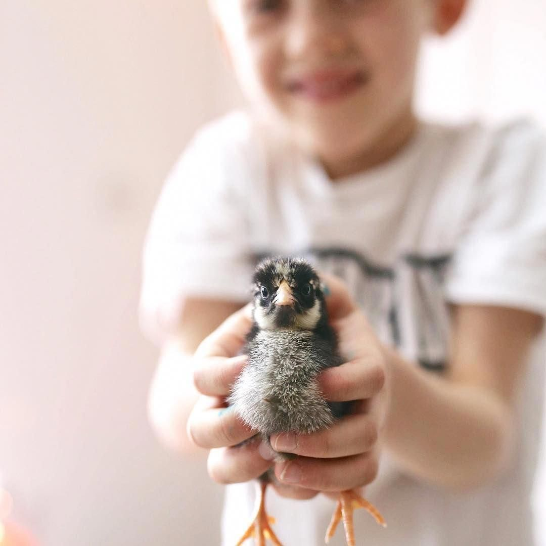 All you need to know about raising baby chicks your