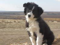 Reg Border Collie Puppies Dogs Stock Pets And Livestock Declo For Sale Classifieds Ksl Com Collie Puppies Border Collie Puppies Dogs