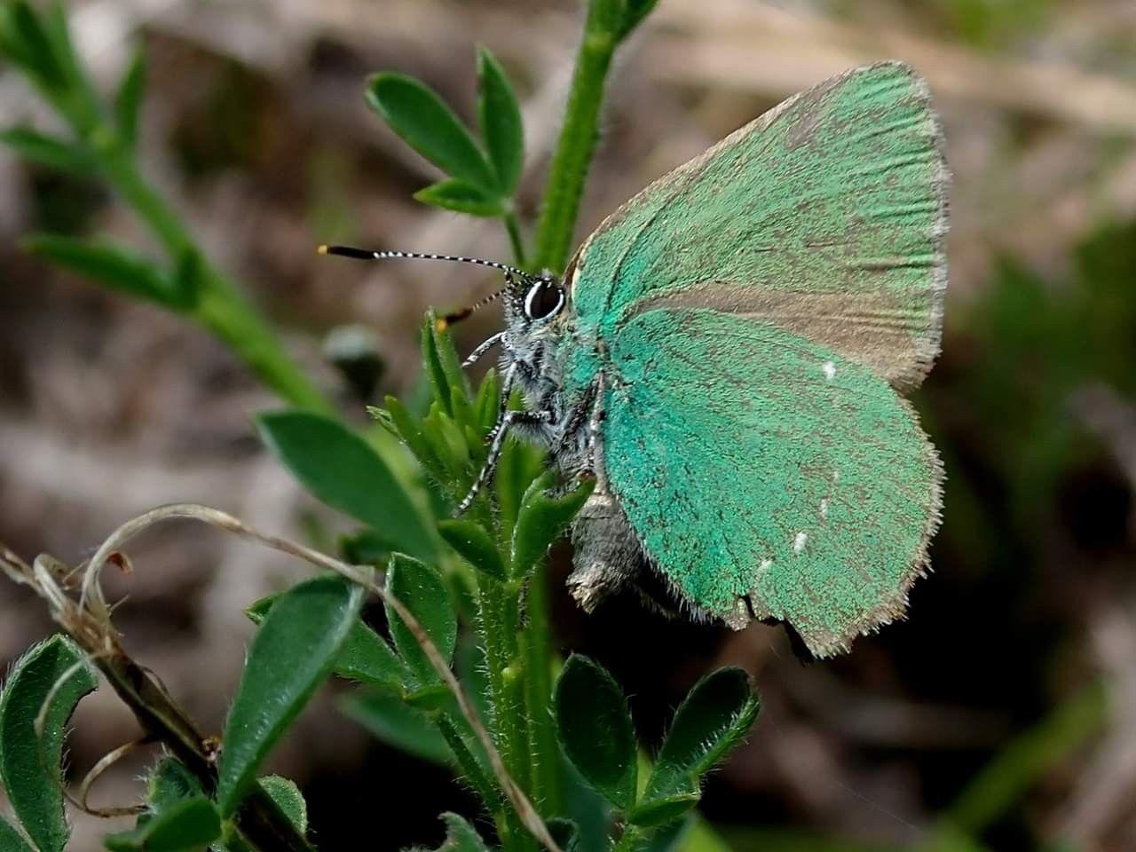 L Argus Vert Callophrys Rubi Emmanuel Delahauteroche Insekten Libellen Und Ameisen