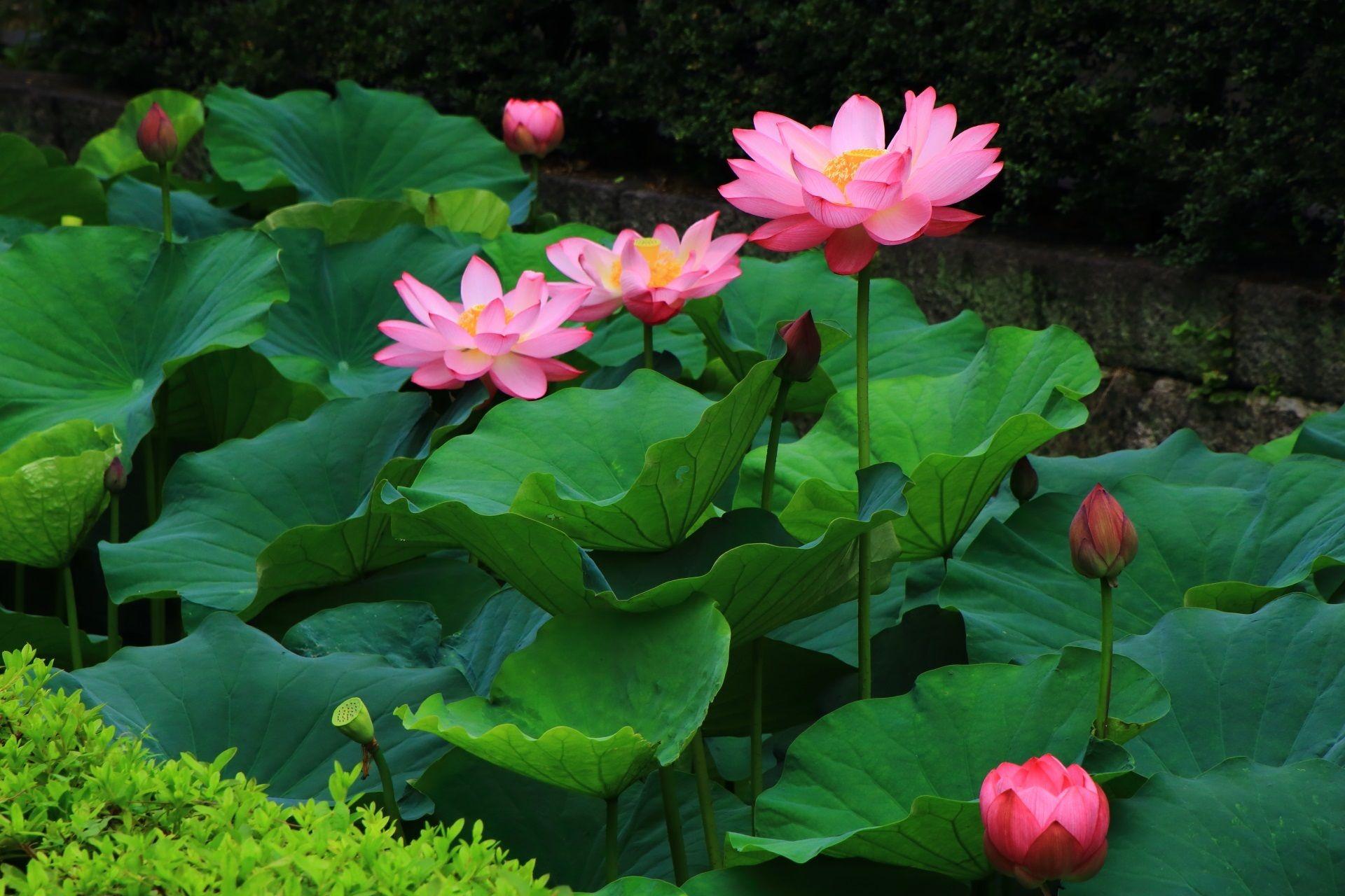 東本願寺の凛と咲くハスの花 ハスの花 蓮の花 スイレン