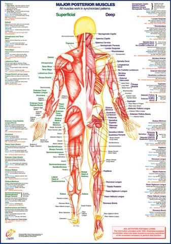 Muscle Anatomy Chart Posterior Forensics Pathology Pinterest