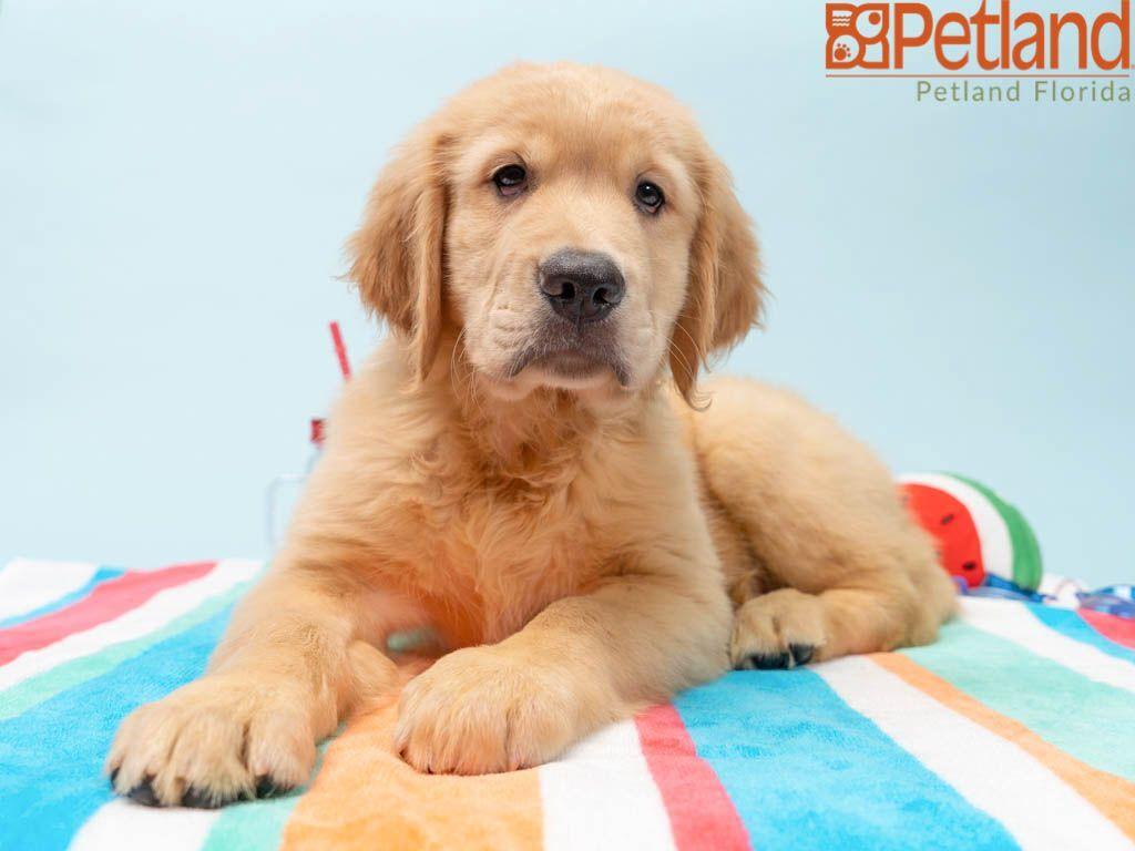 Park Art My WordPress Blog_Golden Retriever Puppies For Sale In South Florida