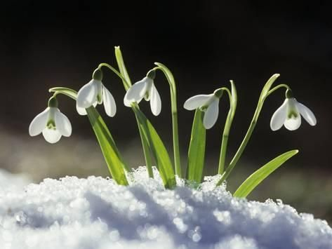 Photographic Print Snowdrop Flowers Blooming In The Snow Galanthus Nivalis By David Cavagnaro 24x18i Spring Flowers Snowdrop Plant Winter Flowers