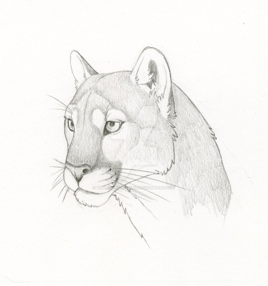Image Result For Drawings Of Mountain Lions Lion Drawing Animal