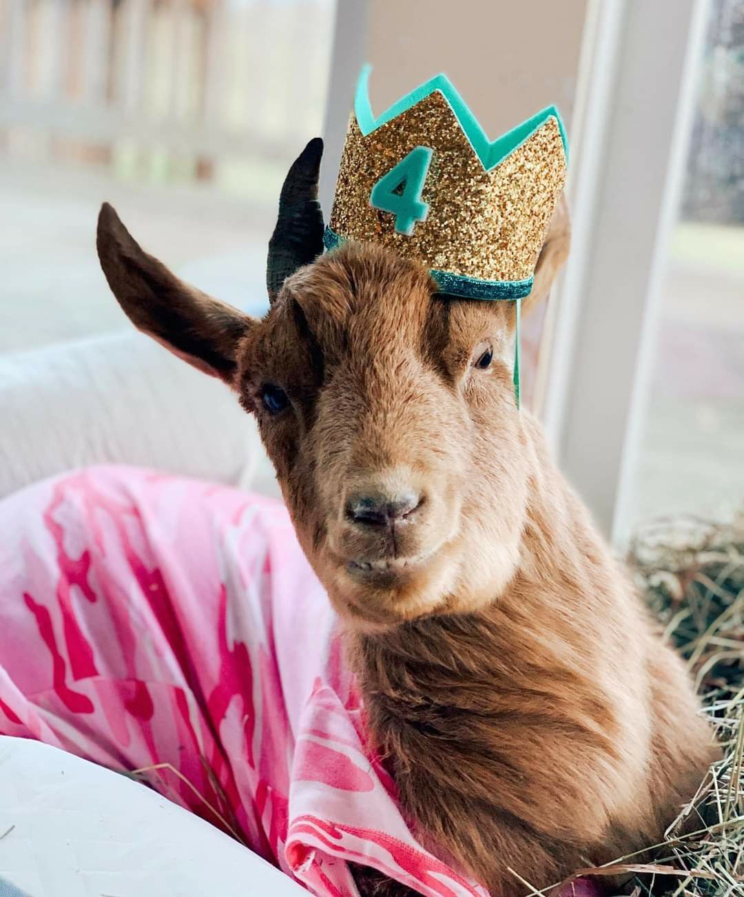 Josie On Her 4th Birthday 1 10 21 From Goats Of Anarchy On Facebook In 2021 Cute Funny Animals Funny Animals Animals