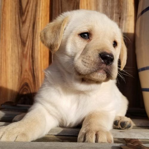 Chewy male Labrador Retriever puppy in Arkansas for sale