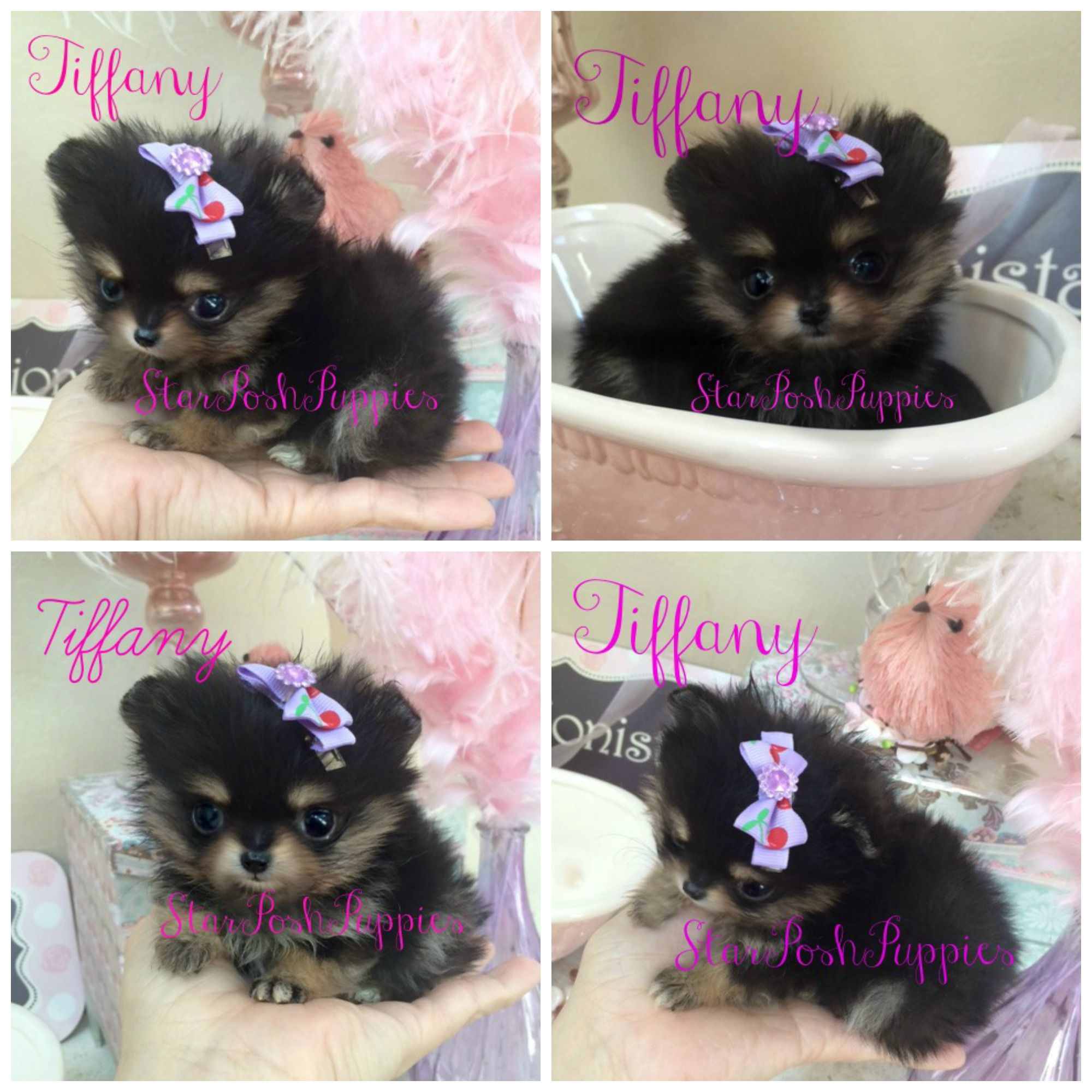 THE WORLD'S TINIEST MICRO TEACUP POMERANIAN PUPPY ! SHE