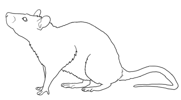 line drawing of rat