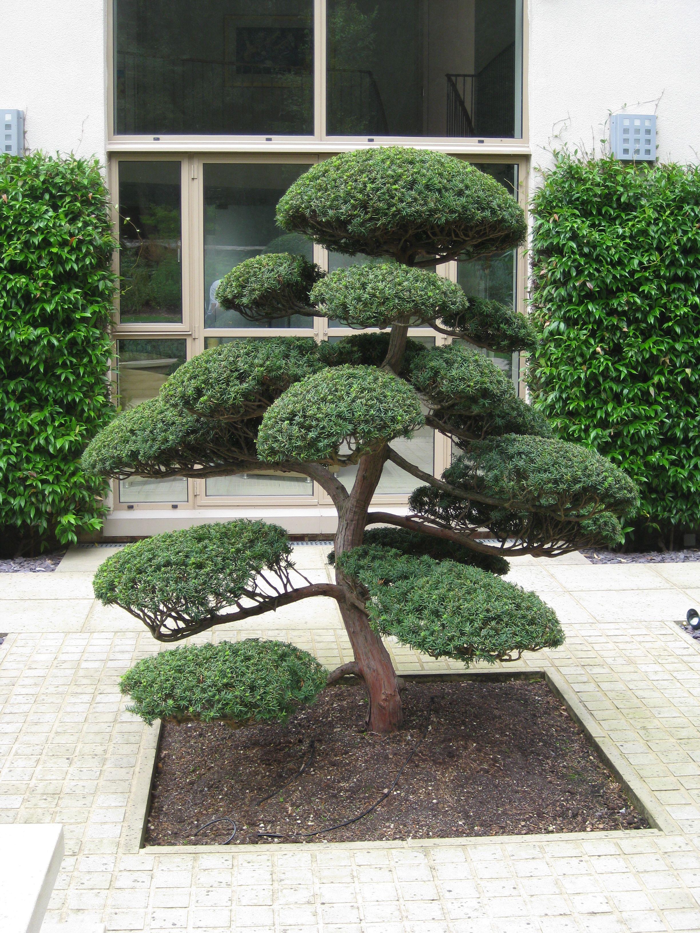 Arbres Nuage Japonais Bonsai Geant Juniperus Virg Glauca