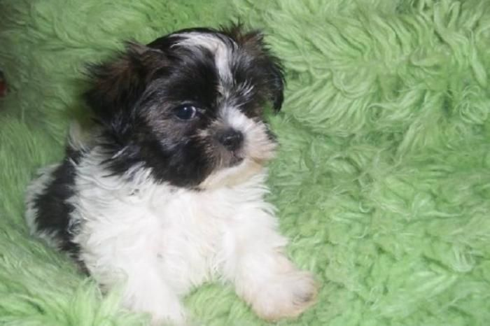 shih tzu puppies Adorable Shih tzu Puppies For Sale! for