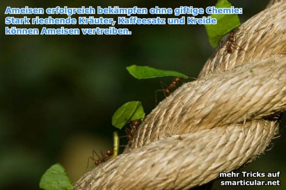 natürlichen Hausmittel helfen gegen Ameisen - hausmittel gegen ameisen in der küche