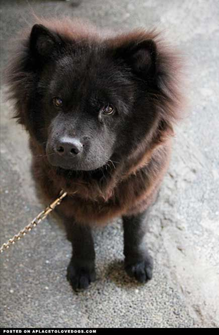 Pin On Black Chow Chow