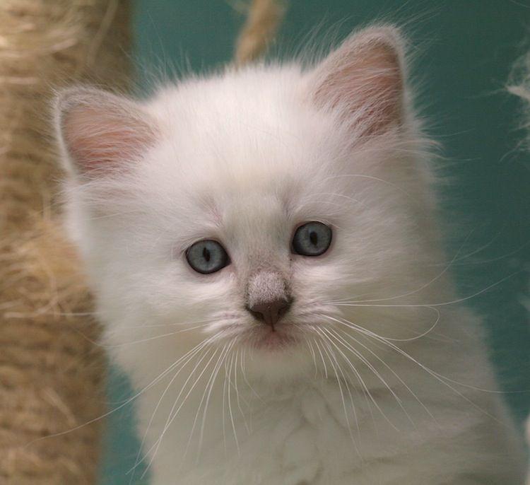 Lilac Mitted Ragdoll Kitten Kittens Cats And Kittens Ragdoll Kitten
