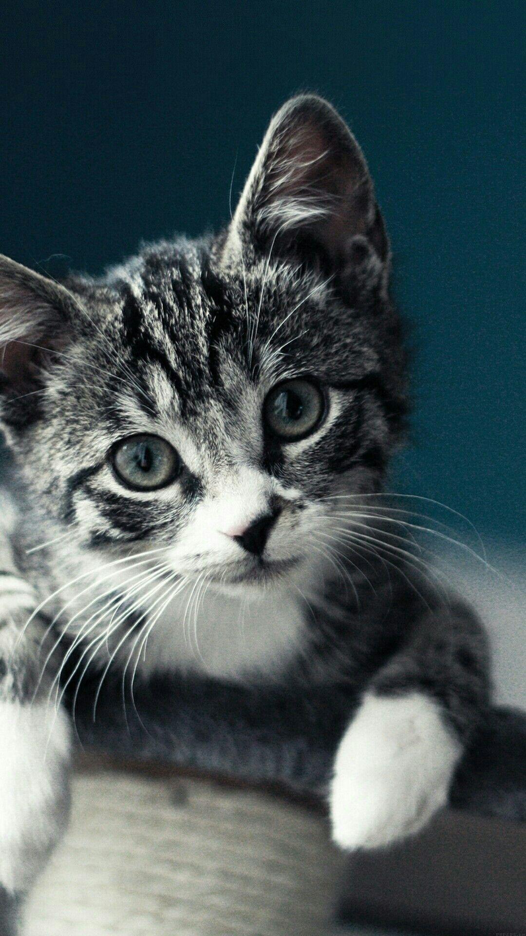 Pin By Saho Souhila On Animaux Kitten Wallpaper Kittens Cutest Cute Cat Wallpaper