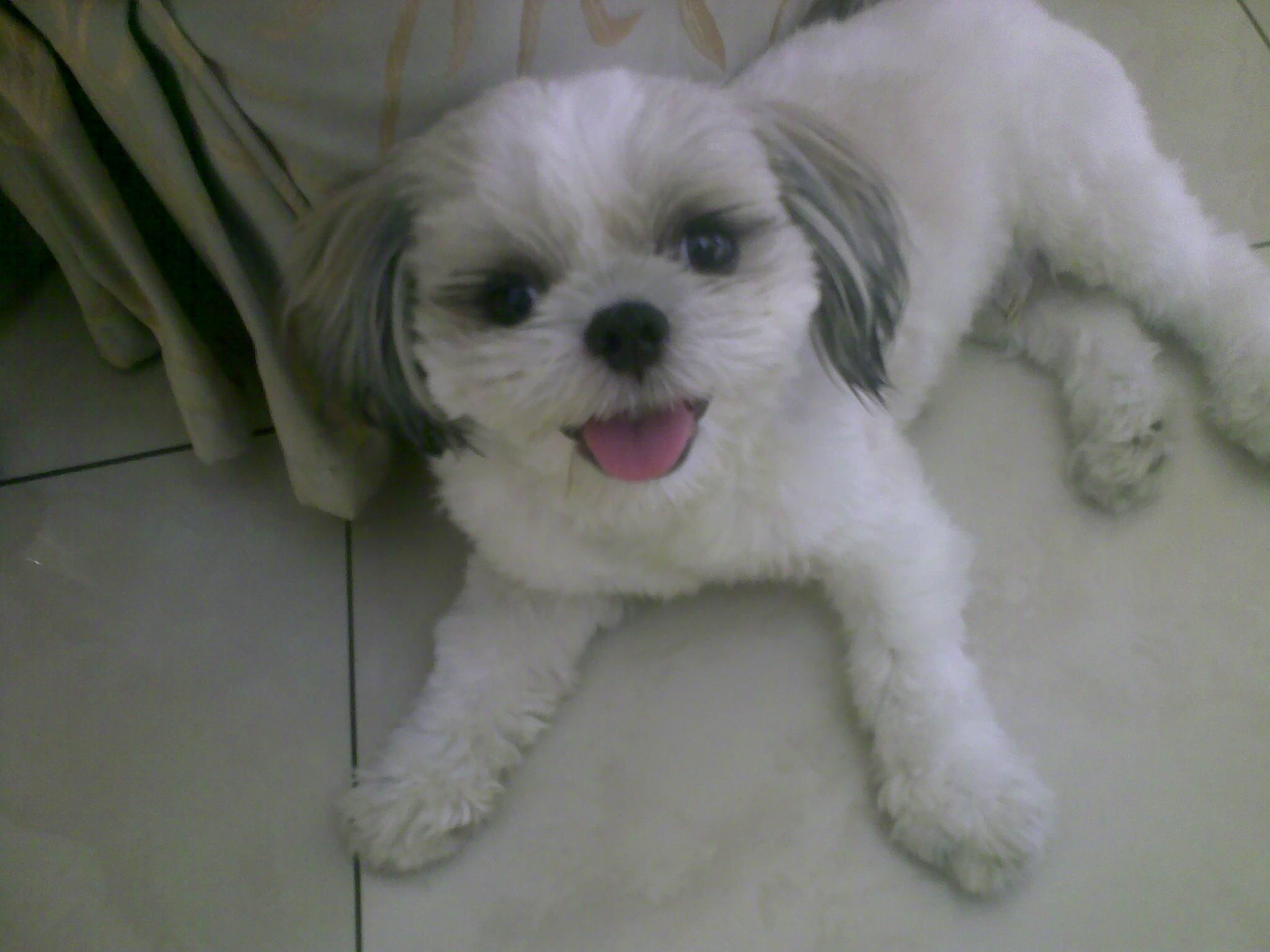 Shih Tzu 360 Degrees Of Me Shih Tzu Shih Tzu Puppy Haircuts