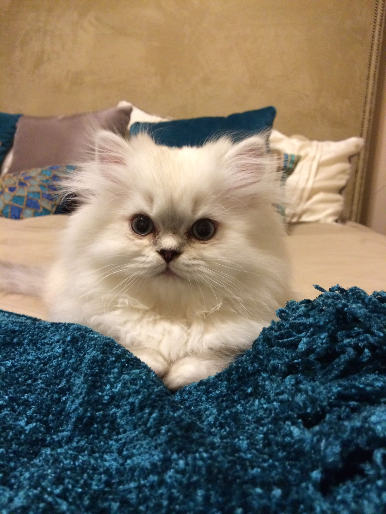 Beautiful White Persian Kitten With Blue Lynx Points Scout Persian Kittens Persian Kittens For Sale Kittens