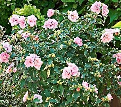 Rose of Sharon Bush, Althea, Hibiscus Syriacus Tree, Planting ... www.rose-gardening-made-easy ...