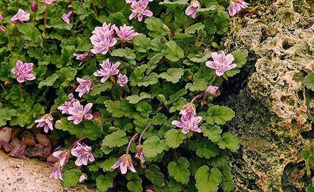 Photo of Reiherschnabel: Die Liebhaberpflanze