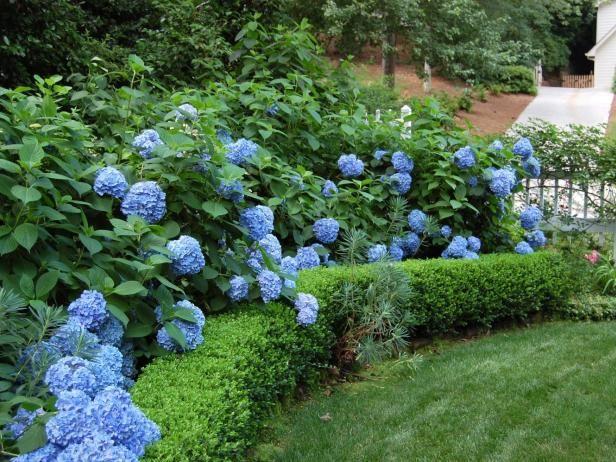 privacy plant hedge of hydrangeas