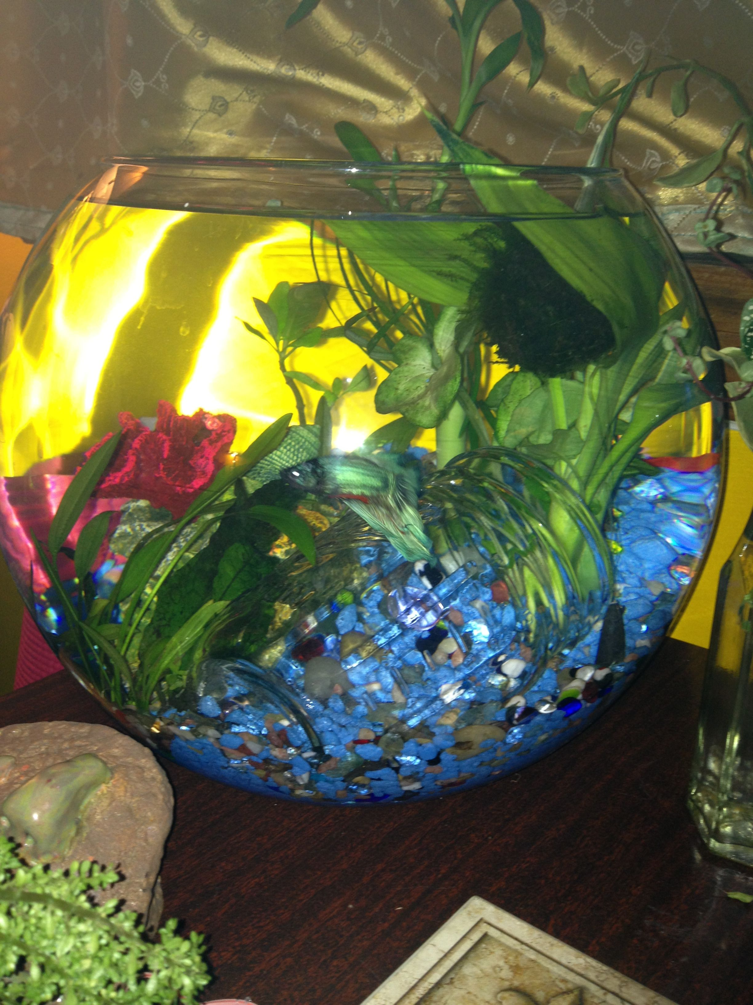 Betta fish bowl about 3 gallons bettas tanks for 3 gallon fish bowl