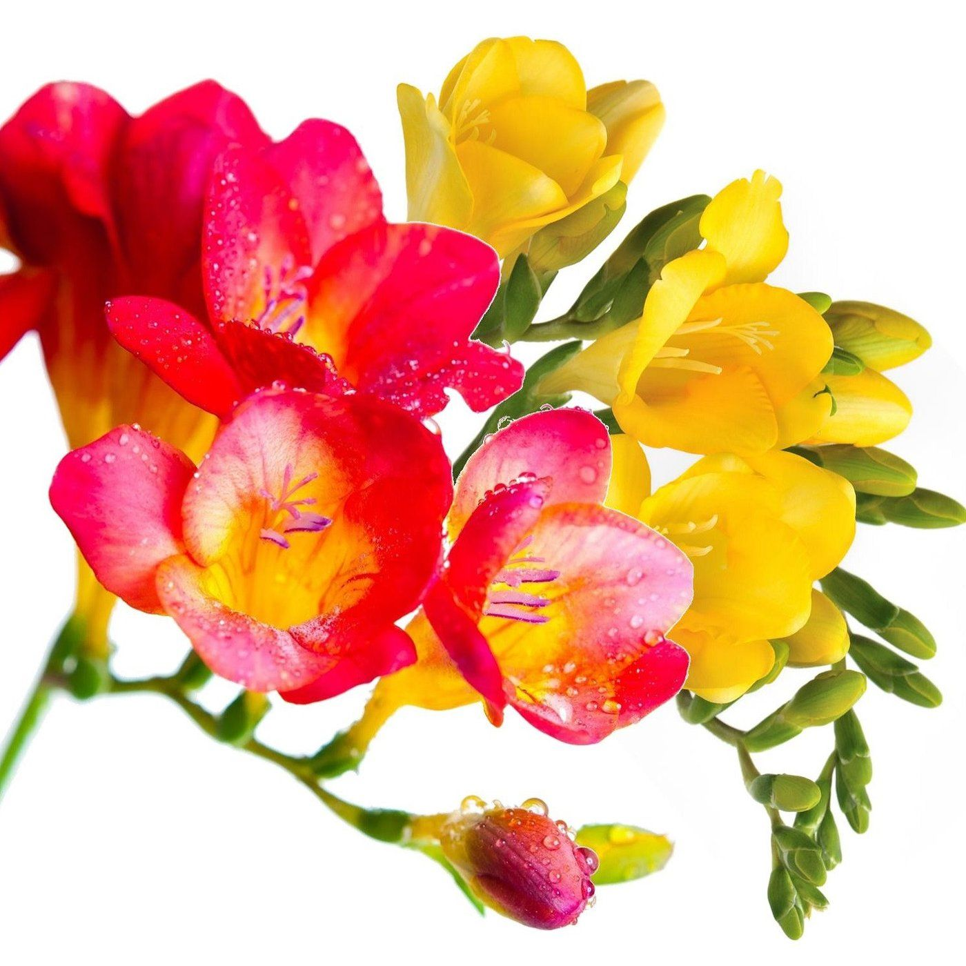 Freesia Sunset Sisters Collection | Plants, Flowers and Gardens