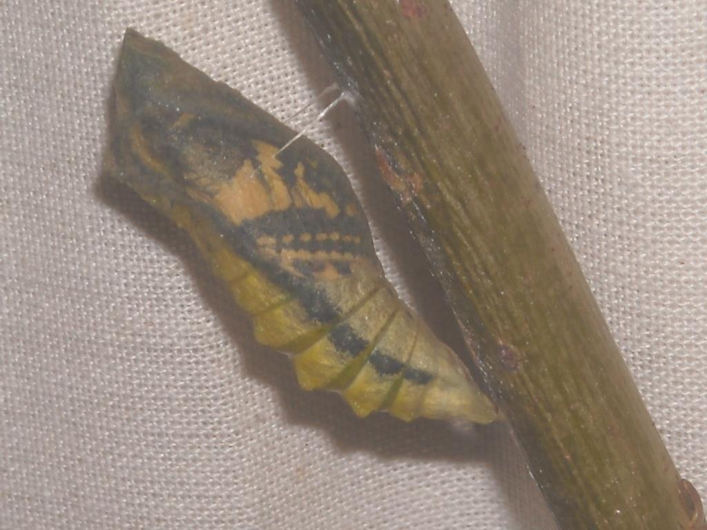 Pin Auf Schwalbenschwanz Metamorphose