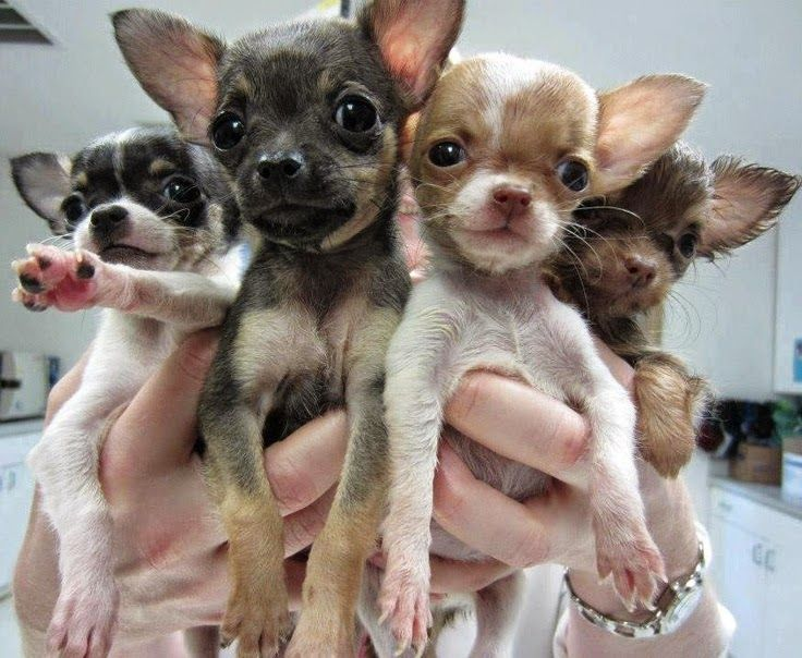 Top 10 Worst Dog Breeds To Get Along With Children Chihuahua