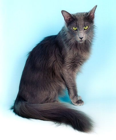Why Are Long Haired Cats So Skinny