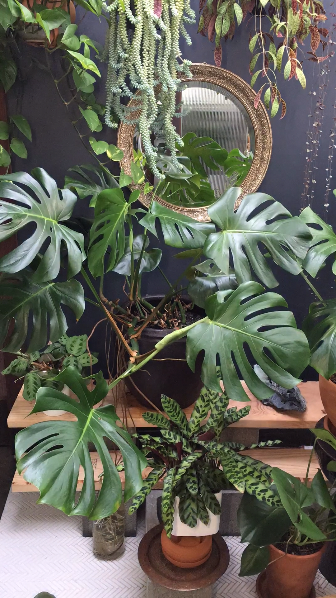 The monstera plant is a relatively easy plant to care for. Learn how to properly care for, grow and propagate your monstera deliciosa so that it thrives in your home.   #sacredelements #monstera #houseplants #houseplantclub
