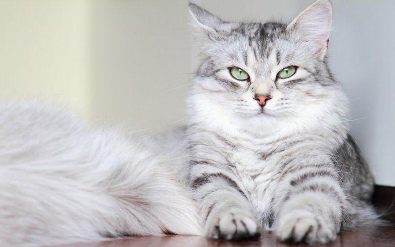 Siberian Fluffy Cat Breeds Fluffy Cat Fluffy Cat Breeds Most