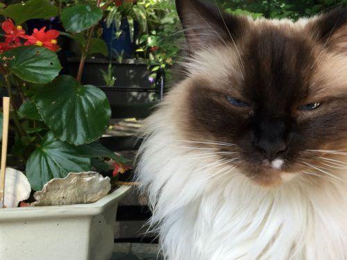 Reunited Long Haired Ragdoll Cat Mosman Nsw 2088 Lost Cat Cats Ragdoll Cat