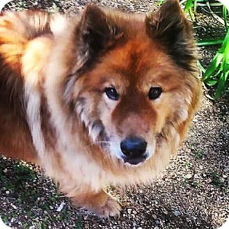 Marina Del Rey Ca Chow Chow Collie Mix Meet Chowder A Dog For