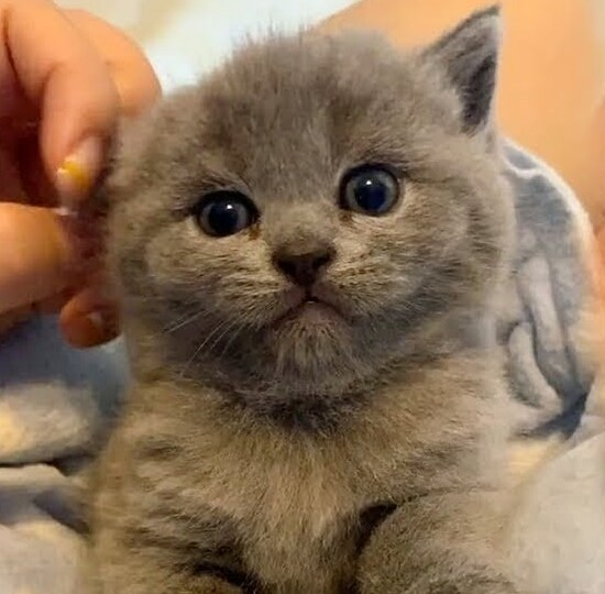 Stressed Out Need To Relax Then Watch This Sweet Grey Kitten In