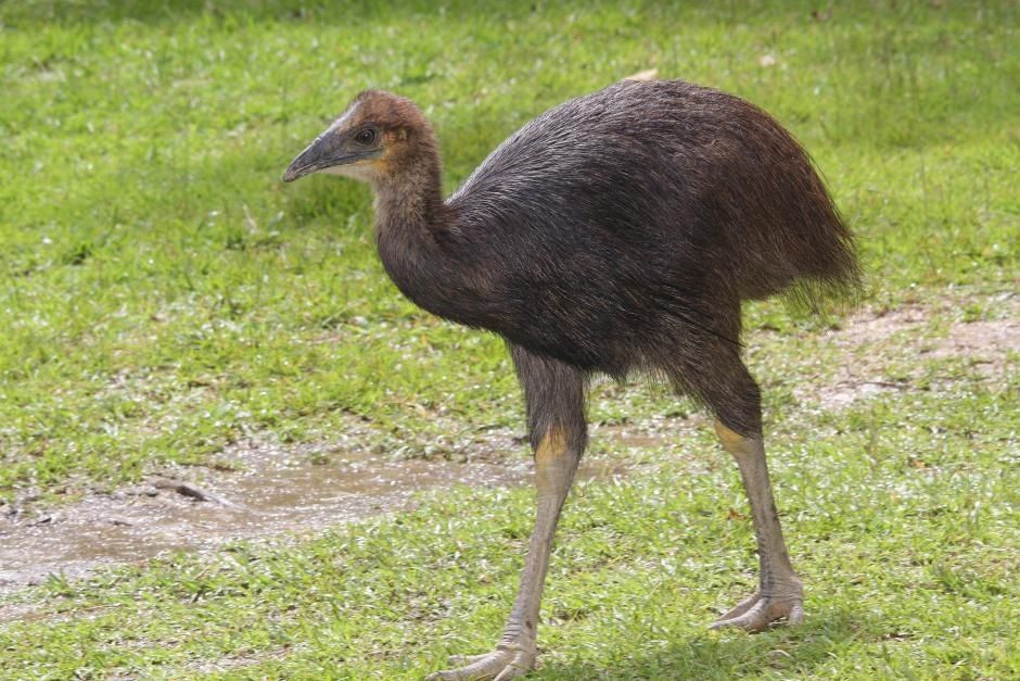 Young Cassowary, gives you an idea how the first birds from prehistoric times must have looked like!