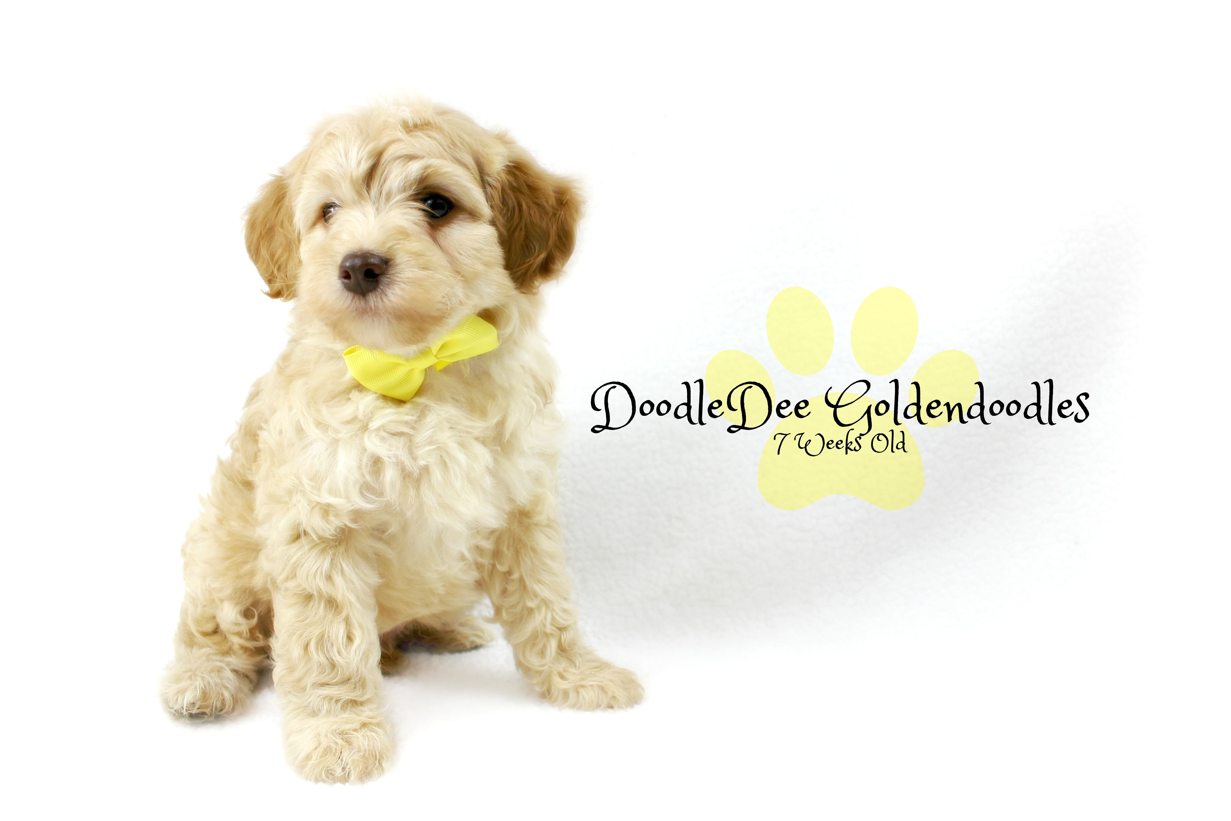 F1B MicroMini Goldendoodle Males AVAILABLE