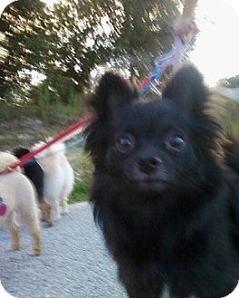 Pomeranian Chihuahua Mix Dog For Adoption In Spring Hill Florida