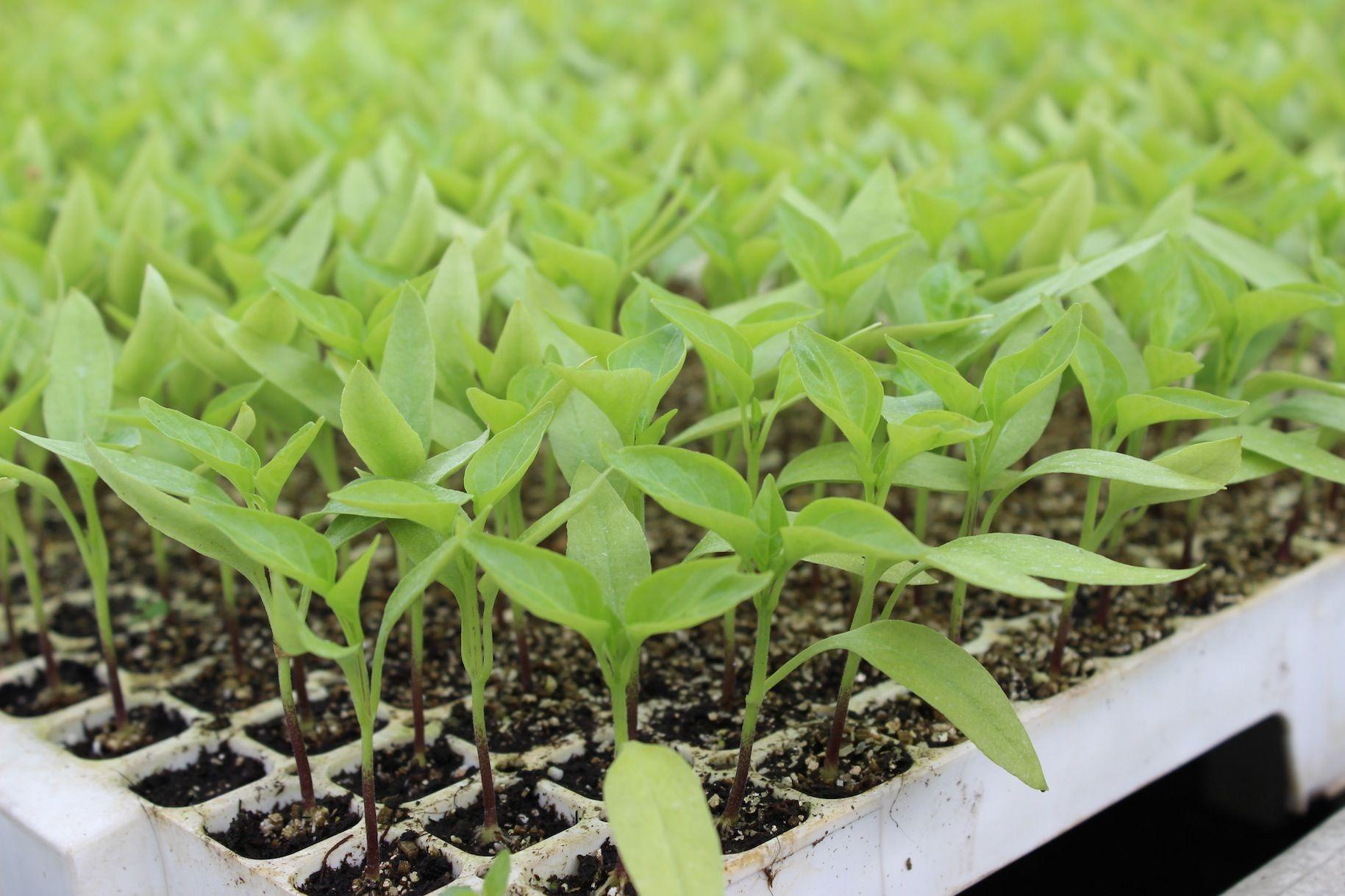 #Peperoni #scharfePflänzchen #Gemüsejungpflanzen #Gärtnern #Balkongenüsse