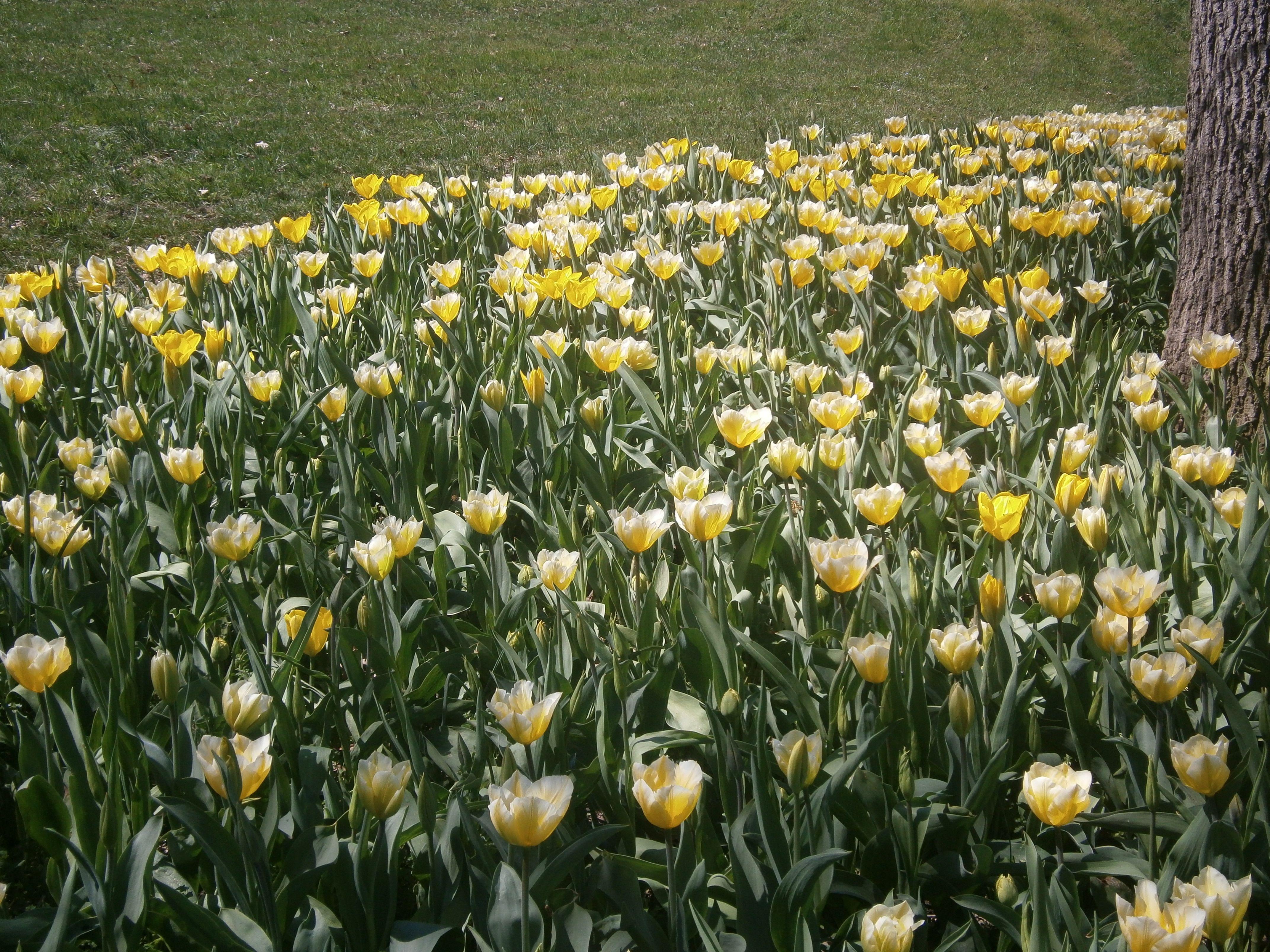 Tulipani al castello di Pralormo