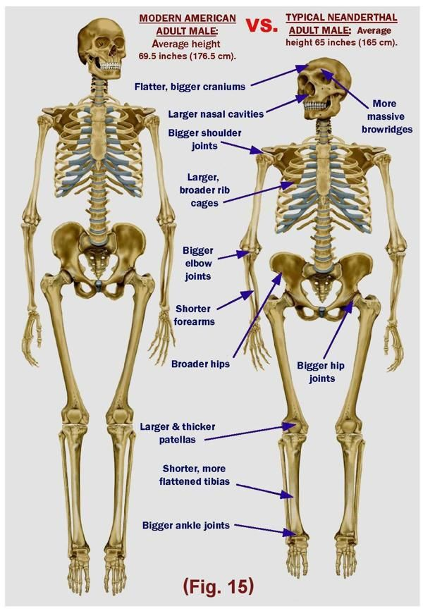 homo sapiens vs neanderthal. they were physically far superior to, Skeleton