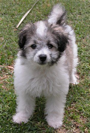 Hybrid Dog Photos Hybrid Dog Pictures 7 Poodle Mix Poodle Mix Puppies Mixed Breed Puppies