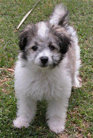 Maltese Sheltie Poodle Poodle Mix